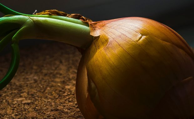 A Spanish onion with a green shoot growing, perfect for a honey macerate