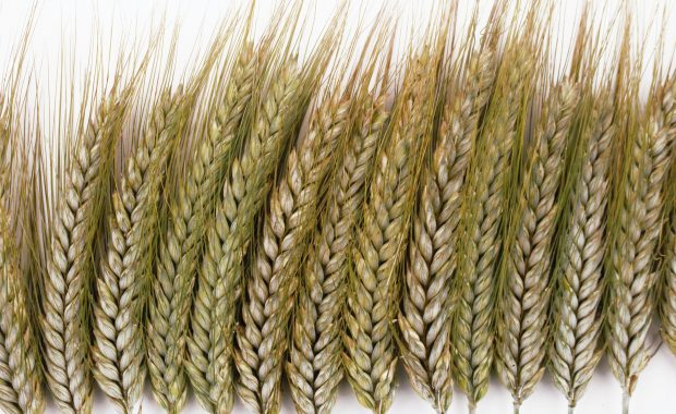 Gluten free diet means no wheat. A row of heads of wheat.